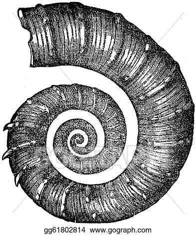 ammonite  Crioceras Duvali