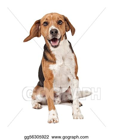 Beagle Mix Dog Isolated on White