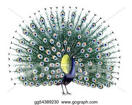 Peacock Dancing Sketch Bird Peacock