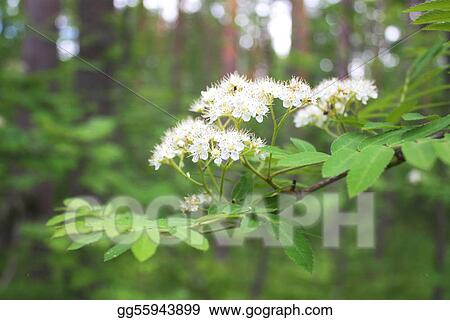 Blossoming mountain ash