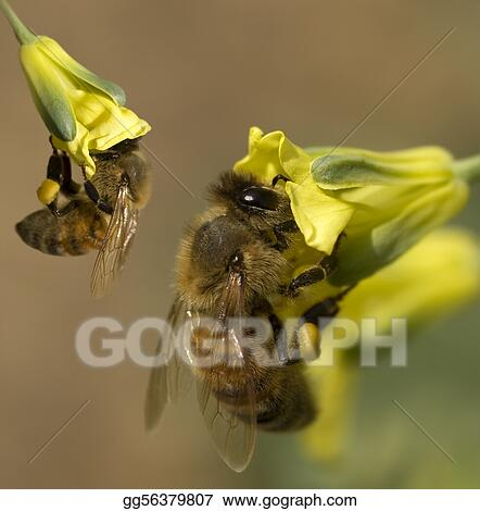 busy spring honey bees collecting pollen from yellow broccoli flowers in organic garden