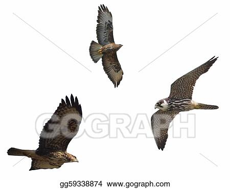  Buzzard and Hobby, isolated