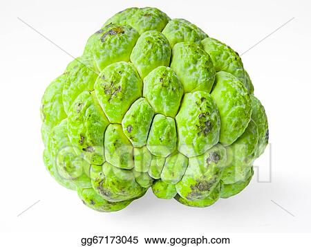 Drawings - Custard Apple, Annona squamosa. Stock ...