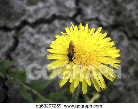 Dandelion (Latin Tar?xacum)