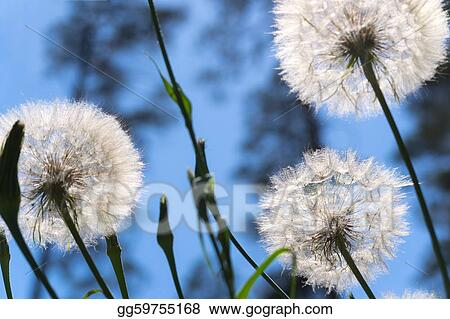 Dandelions in forest