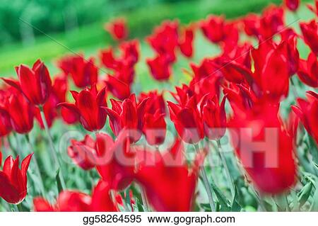 Early spring red tulip on flower bed with beautiful bokeh