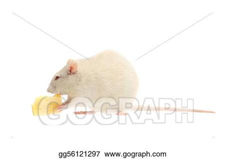 fun white rat with cheese