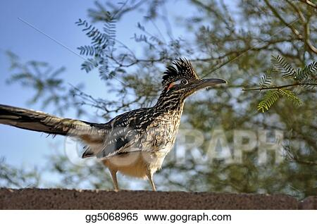 Greater roadrunner on rock wall