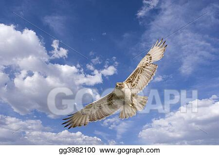 Hawk flight