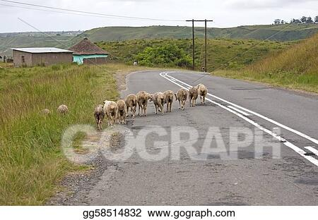 Herd of sheep walking over road over rural tar