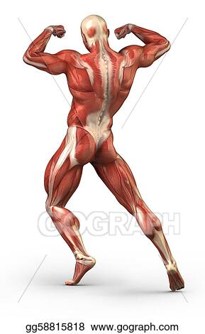 Human muscular back system anatomy in body-builder pose