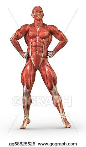 Man muscular system anterior view in body-builder position