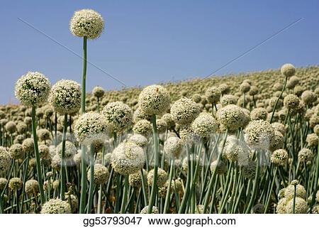 Onion field in flower