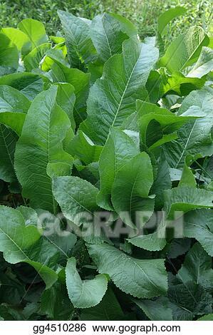 organic food horseradish