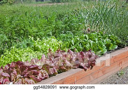 Organic Raised Bed Lettuce Garden
