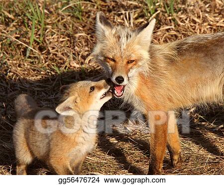 Red Fox vixen with pup on Hecla Island in Manitoba