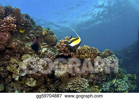 Reef in Kona Hawaii with Moorish Idol and Raccoon Butterflyfish