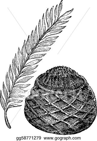 Sago Palm or King Sago Palm or Cycas revoluta, vintage engraving. Old engraved illustration of a Sago Palm showing leaves (left) and female cone (right).