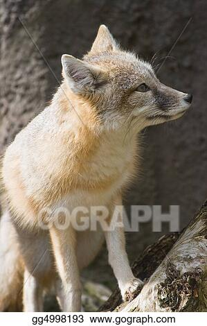 Swift fox sitting and looking
