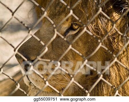 The King of the Beasts in captivity