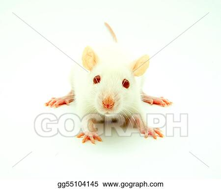 white rat