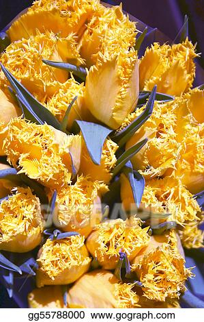 Yellow  fringed tulips