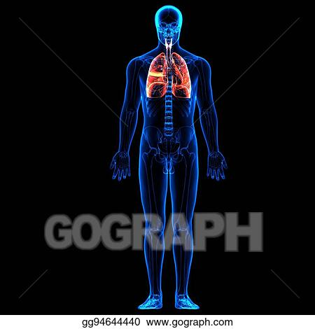 Clip Art - 3d illustration human body respiratory system.human body ...