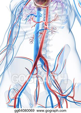 Stock Illustration - 3d rendered illustration of the human vascular ...