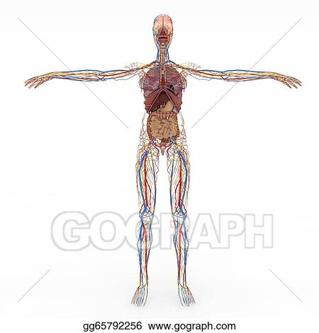Drawing Accurate Female Anatomy Clipart Drawing Gg65792256 Gograph