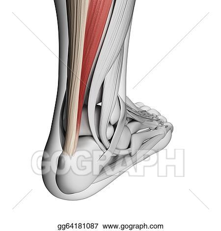 Stock Illustrations - Achilles tendon. Stock Clipart gg64181087 ...