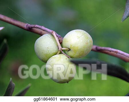 Drawings An Olive Branch With Ripe Olives Symbol Of Health And