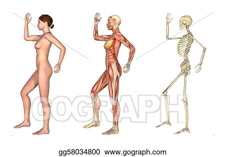 stock illustration anatomical overlays female with arm and leg