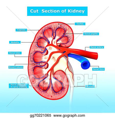 Stock Illustration - Anatomy kidney cross section . Clipart Drawing ...