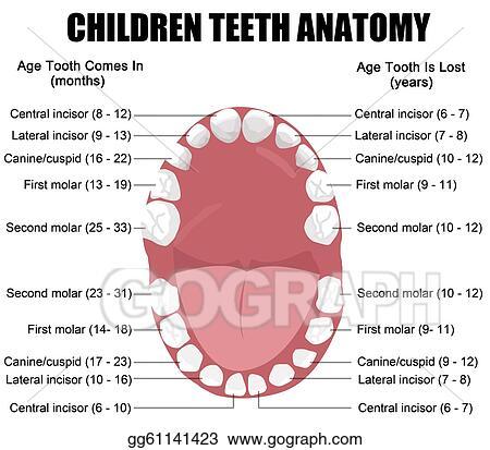 Clip Art Vector Anatomy Of Children Teeth Stock Eps Gg61141423