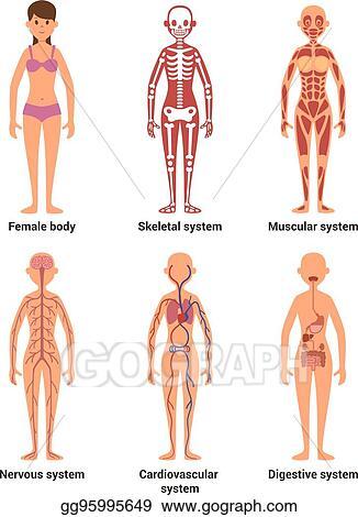 Vector Clipart Anatomy Of Female Vector Illustration Of Nerves