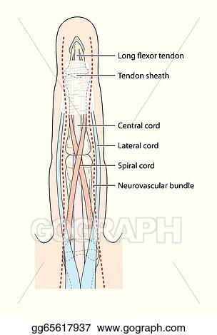 Vector Illustration - Anatomy of finger tendons. Stock Clip Art ...