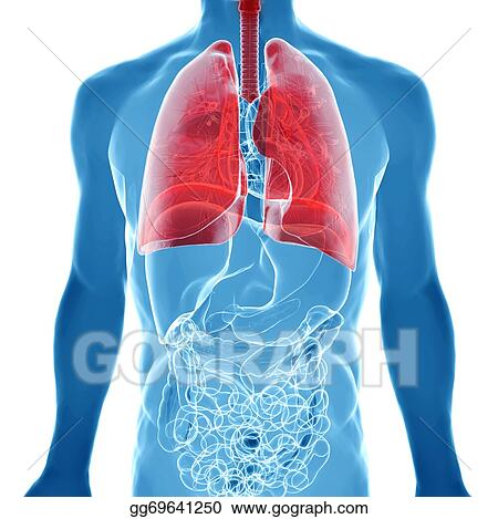 Stock Illustration Anatomy Of Human Lungs In X Ray View Clipart