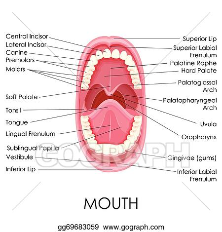 Clip Art Vector Anatomy Of Human Mouth Stock Eps Gg69683059 Gograph