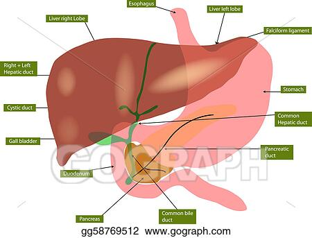 Vector Art Anatomy Of Liver And Gall Bladder Eps Clipart