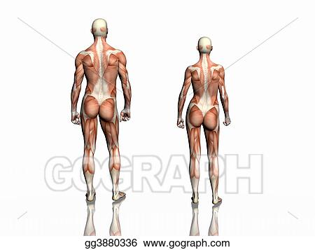 Drawing - Anatomy of man and woman. Clipart Drawing gg3880336 - GoGraph