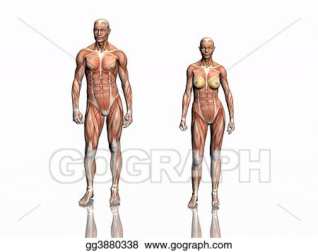 Drawing - Anatomy of man and woman. Clipart Drawing gg3880338 - GoGraph
