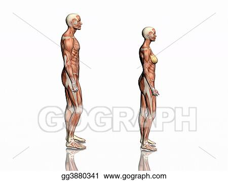 Drawing Anatomy Of Man And Woman Clipart Drawing Gg3880341 Gograph