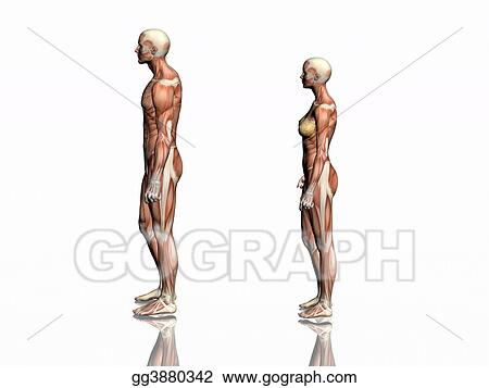 Drawing Anatomy Of Man And Woman Clipart Drawing Gg3880342 Gograph