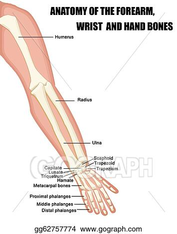Vector Illustration - Anatomy of the forearm, wrist and hand bones ...