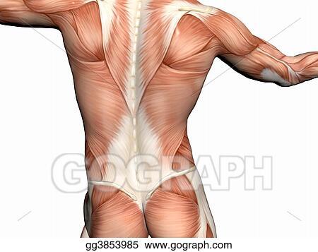 Stock Illustrations Anatomy Of The Man Muscular Man Stock