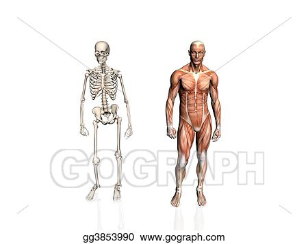 Stock Illustration Anatomy Of The Man With Skeleton Clipart