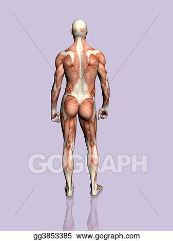 Stock Illustration Anatomy Of The Man Clipart Gg3853385 Gograph