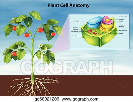 Vector Stock Anatomy Of The Plant Cell Clipart Illustration