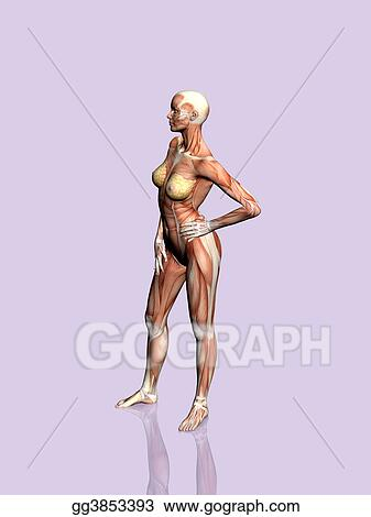 Drawing Anatomy Of The Woman Clipart Drawing Gg3853393 Gograph
