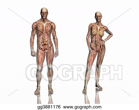 Stock Illustration Anatomy Transparant Muscles With Skeleton